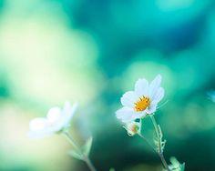 botanical photography nature floral flower photography fine art 8x10 8x12 still life cosmos flower teal art print emerald blue bedroom decor on Etsy, $25.00