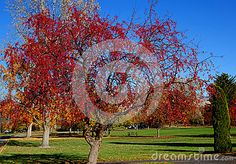 Crab apple trees turn a brilliant shade of red during autumn in a Boise city park, Idaho.  ©Photo copyright by Marty Nelson. Photographer website: http://www.dreamstime.com/uploads