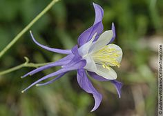 Columbine flower-these thrive in shady areas and come back every year as long as they seed themselves.  They bloom long into the fall.