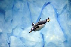 Royal Oak, Mich. A penguin swims in the Detroit Zoo's new Polk Penguin Conservation Center on April 13. The new penguin habitat that the zoo calls the world's largest such facility offers its 80-plus residents new rocks for climbing, waves, snow and better ice conditions, while allowing visitors to come nose-to-beak with the stately birds.