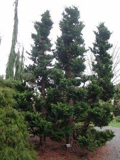 Dwarf Hinoki False Cypress Chamaecyparis Obtusa Nana