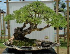 Bonsai Ficus Benjamina | Passatempo | Pinterest | Ficus, Bonsai ...