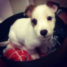 We sure love our Jack Russell Terriers More