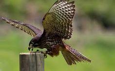 New Zealand Falcon Raptors, Sea Birds, Birds Of Prey, Falcons, Arm Tattoo, Beautiful Birds, New Zealand, Wildlife, Animals