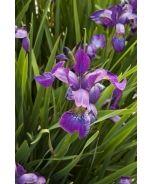 Chilled Wine Siberian Iris