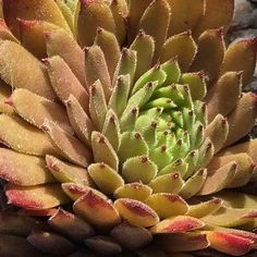 Sempervivum 'Space Dog'