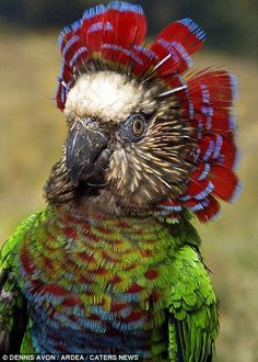 A Hawk Headed Parrot in the Amazon Basin by Dennis Avon /Ardea /Caters News