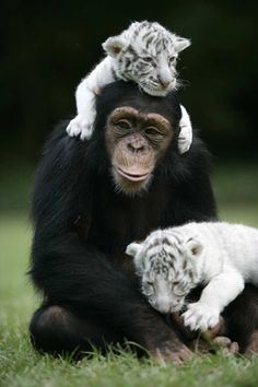 A chimp is mothering 2 baby white tigers since they lost their mother...