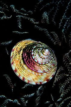 British Waters Macro Category: Runner Up Topshell Tapestry By Cathy Lewis, UK