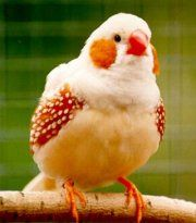 Winged Wisdom Pet Bird Magazine - Zebra Finch Mutations - Part II - Pet Birds Kinds Of Birds, All Birds, Little Birds, Love Birds, Pretty Birds, Beautiful Birds, Animals Beautiful, Exotic Birds, Colorful Birds