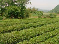Weer op bezoek bij de heer Yang, een jonge man, ongeveer 26 jaar oud en de tweede generatie die Long-Jing thee verbouwt in Zhejiang is een van de meest onherbergzame gebieden aan de kust. http://tea-adventure.nl/groene-thee/long-jing