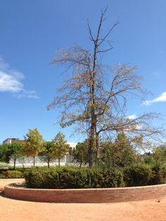 El árbol que costó a Pozuelo 104.000 euros, moribundo | Madrid | EL PAÍS