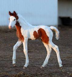 Beautiful flashy overo paint colt horse