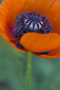 Photograph - Big Red Poppy by Rebecca Cozart