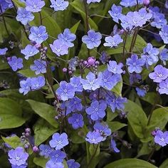 Buy Omphalodes cappadocica Cherry Ingram 'Perennial Forget me not' | Coblands.co.uk