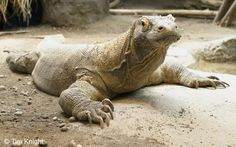Female Komodo Dragons can reproduce without the presence of a male using a process called Parenthogenesis.