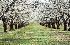 The beauty of flowering trees, the fresh, perfumed, early spring air. Country Farmhouse, Country Roads, Country Living, Pear Blossom, Blossom Trees, Prince Edward Island, Fruit Trees, Pear Trees, Anne Of Green Gables