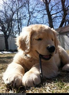 Ray Charles: The Blind Golden Retriever Puppy, via Buzzfeed
