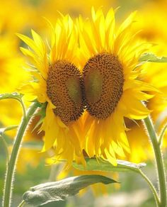 Heart to heart Sunflowers stand Tall. Sunflower Hearts, Sunflower Garden, Sunflower Fields, Yellow Sunflower, Happy Flowers, Flowers Nature, Love Flowers, Beautiful Flowers, Sunflower Quotes