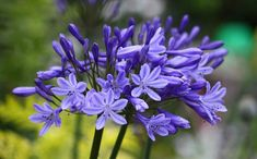 Agapanthus africanus | Agapanthus 'Northern Star', lily of the Nile 'Northern Star', African Lily 'Northern Star', Blue flower, purple flower Family : Amaryllidaceae
