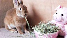 Ichigo san 479 いちごさんうさぎ rabbit bunny netherlanddwarf brown ネザーランドドワーフ ペット いちご うさぎ