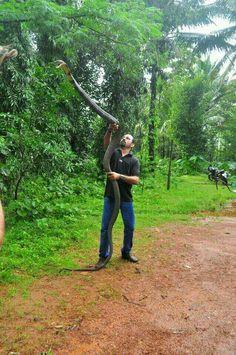 Cobra real (la serpiente venenosa mas grande que existe)