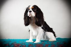 charming cavaliers southern ca