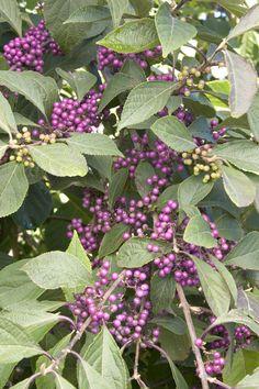 Profusion Beautyberry - Monrovia - Profusion Beautyberry