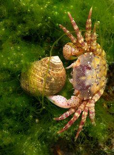 Japanese Shore Crab (Hemigrapsus sanguineus) in a tidal pool in Gloucester, Massachusetts. Underwater Creatures, Underwater Life, Ocean Creatures, Under The Water, Under The Sea, Fauna Marina, Life Aquatic, Tide Pools, Sea And Ocean