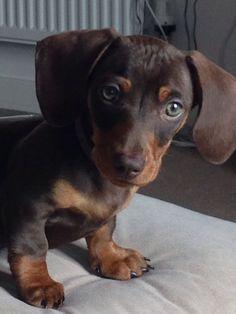 My gorgeous miniature #dachshund puppy x #dachshundpuppy