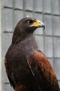 Iko, the gorgeous Harris Hawk