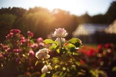 Rose Garden {Freelensed} by Eve Tuft Photography