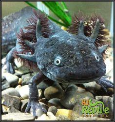 Axolotl Care Sheet – Ambystoma Mexicanum  http://www.kjreptilesupplies.co.uk/blog/axolotl-care-sheet-ambystoma-mexicanum/
