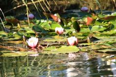 Seerosen #Makkum 'Ijsselmeer