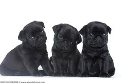 The Three Little Pugs!!!