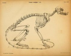 Lemur skeleton illustration
