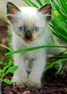 kitten photos cat photo Siamese kitten print blue by LDphotography
