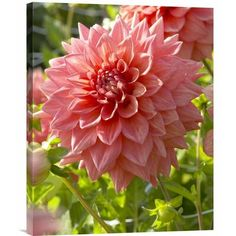 East Urban Home 'Dahlia Beverly Fly Variety Flower' Photographic Print Format: Black Framed, Size: H x W