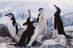 Eliot Porter. Chinstrap Penguins, Cuverville Island, First Trip, Antarctica, January 1975