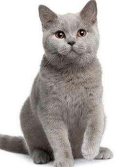 British Shorthair Gr Persainkittens Popular Cat Breeds Cat