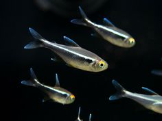 Aquatic Arts, Neon Tetra, Red Lizard, Fish List, Live Fish, Black Neon, Cichlids, Planted Aquarium, Made Goods