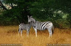 Young Burchells zebra getting comfort from its monther @ Hluhluwe-Umfolozi Game Reserve in #SouthAfrica. See our #Hluhluwe-Imfolozi travel guide: http://www.safaribookings.com/hluhluwe
