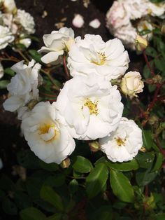 Growing Shrub Roses Can Be A Dutch Treat! Read why here http://www.finegardening.com/item/23695/growing-shrub-roses-can-be-a-dutch-treat