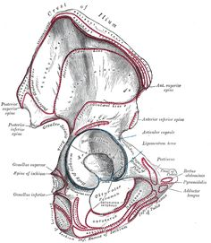 the hip bone - human anatomy | osteology | pinterest | human, Skeleton