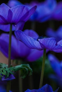 garden-muse:  flowersgardenlove:  ~~Blues ~ Anemone, C Beautiful  …inspirational blues`y faerie muse!…