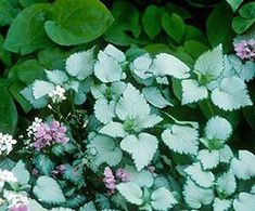 Lamium has small, light colored leaves (Beacon Silver, or White Nancy)