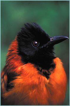 """Pitohui Encapuchado.Pitohui dichrous,  de Nueva Guinea es uno de los dos pájaros venenosos que existen en el mundo. El veneno que fabrican es la homeobatraciotoxina, típica de algunas ranas, se encuentra preferentemente en las plumas y en la piel. Los habitantes de Papúa Nueva Guinea los llaman """"pájaros basura""""."""