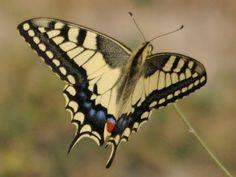 Swallowtail butterfly Hotel Uson, Spain