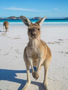 Lucky Bay near Cape Arid,Western Australia what-do-animals-e. Lucky Bay near Cape Arid,Western Australia what-do-animals-e… Great Barrier Reef, Australia Travel, Western Australia, Visit Australia, Hello Australia, Melbourne Australia, Beautiful Creatures, Animals Beautiful, Australia Occidental