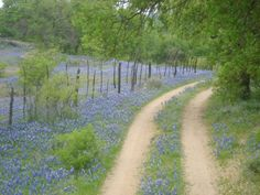 Texas Bluebonnets 2014 | Posted by Joan Young Spotswood at 3:36 PM